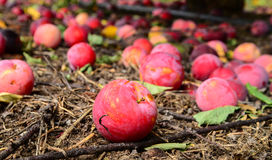 Plums fallen on ground Royalty Free Stock Photography