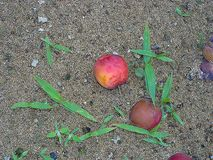 Plums on the floor royalty free stock image