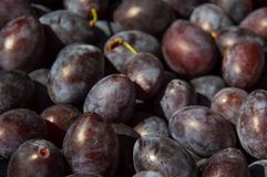 Plums. Fresh plums picked and place in a basket Stock Image