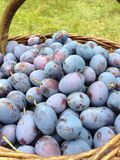 Plums. The fresh purple plums in a basket on the grass Stock Photography