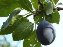 Plums - fruit on the tree Royalty Free Stock Image