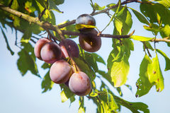 Plums fruits Royalty Free Stock Photo