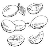 Plums graphic black white isolated sketch illustration. Vector Stock Photography