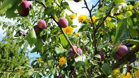 Plums. On the branch of the plum-tree Stock Photo