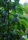 Plums growing on a branch Royalty Free Stock Photography