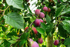 Plums growing on tree branches Stock Photography