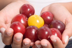 Plums in hands. A hand full of red plums and a yellow one royalty free stock images