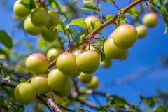 Plums hanging from a small branch, among leaves and on unfocused Stock Image