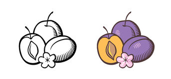 Plums illustration. Hand drawn vector illustration of plums. Plum fruits with cross section, kernel and flower. Outline and colored version Stock Image
