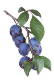 Plums with leafs Royalty Free Stock Photo