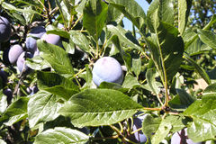 Plums and leaves holding in a branch of a plumb tree. In summer Royalty Free Stock Image