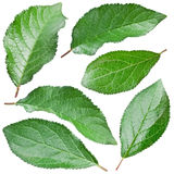 Plums leaves. Royalty Free Stock Images
