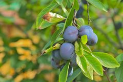 Free Plums On The Tree Stock Images - 20781334