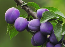 Free Plums On The Tree Stock Photography - 2141332
