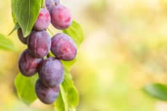 Free Plums On The Tree Branch, Background With Copy Space Stock Photo - 128038200