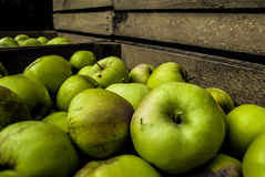 Apples in wooden chest  in orchard. Work in orchard during plums harvest Stock Image