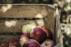Apples in wooden chest in orchard. Work in orchard during apple harvest stock photos