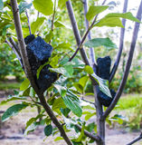 Coal in orchard. Lump of coal on a tree stock image