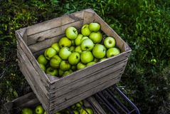 Apples in wooden chest  in orchard. Work in orchard during apples harvest Royalty Free Stock Photos