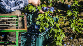 Plums in orchard. Work in orchard during plums harvest stock image