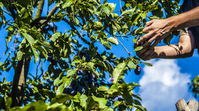 Plums in orchard. Work in orchard during plums harvest Royalty Free Stock Image