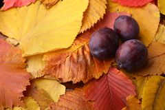 Plums over autumn leaves Royalty Free Stock Images