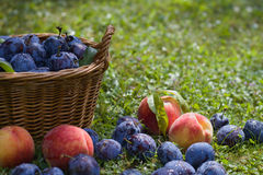 Plums and peaches with wicker basket Stock Photos