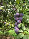 Plums. Picked sweet plums at an organic fruit orchard last weekend Royalty Free Stock Images