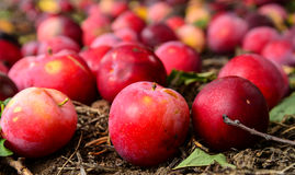 Plums plucked from orchard Stock Photo