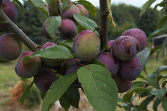 Pruimen. A plum tree full of plums Stock Images