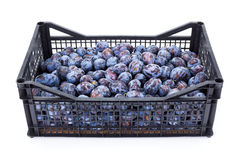 Plums (Prunus) in plastic crate Royalty Free Stock Photography