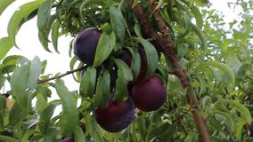 Plums red from bulgaria. Good plums from bulgaria jambol stock footage