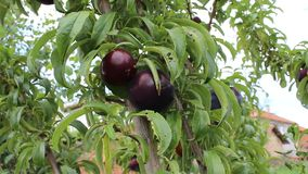Plums red. Good plums from bulgaria jambol stock footage