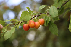 Plums ripen on a tree Royalty Free Stock Photos