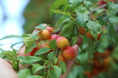 Plums ripen on a tree Royalty Free Stock Photo