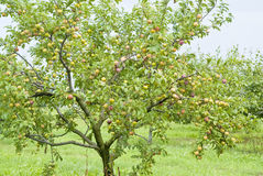Plums Ripening on the Tree Royalty Free Stock Photos