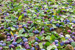 Plums shaken down at harvest Royalty Free Stock Photo