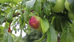 Plums. The plums is shot in bulgaria jambol stock footage