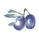 Plums with a sprig. Vector illustration. Hand drawing on a graphic tablet.Plums with a sprig Stock Image