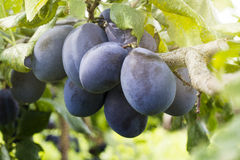 Plums in sun rays Royalty Free Stock Images