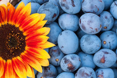 Plums and sunflower Stock Photo