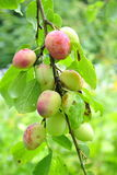 Plums. Sweet plums on a branch in a garden Stock Photo