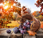Plums on table. Plums in a basket on wooden table and autumn landscape Royalty Free Stock Images
