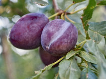 Plums. Three ripe plums on the branch Stock Photos