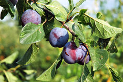 Plums on the tree 1 Royalty Free Stock Photography