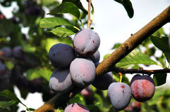 Plums on the tree Royalty Free Stock Images