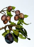 Plums on tree Royalty Free Stock Photo