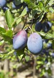 Plums on tree. In early autumn Stock Images