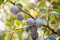 Plums on the tree. Close up of ripe plums on the branch Stock Photo
