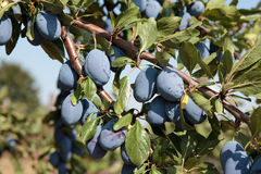 Plums on tree Royalty Free Stock Photography